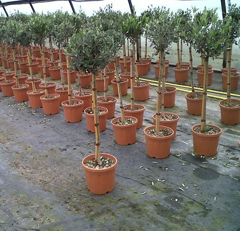1-4 of olive Olea Europea Drum Ball in 3 Years