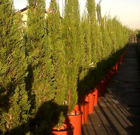 Cupressus sepervirens Ht 120-150