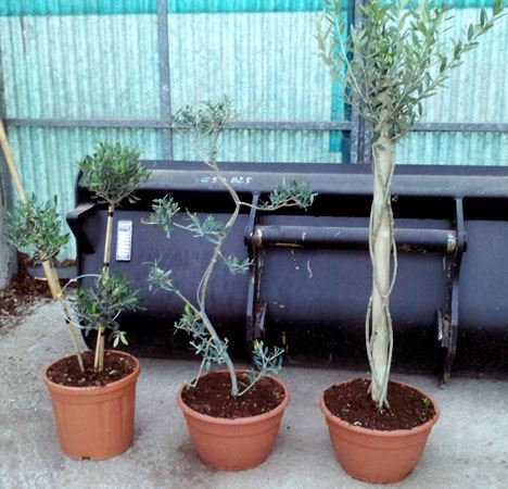 Olea Europea various forms of